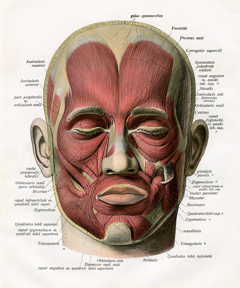 Front View「Muscles Of The Human Face」:写真・画像(8)[壁紙.com]
