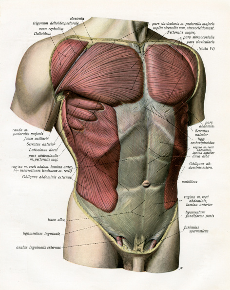 GraphicaArtis「Muscles And Ligaments Of Torso」:写真・画像(12)[壁紙.com]