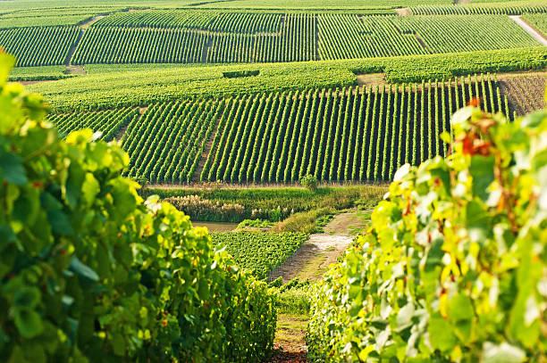 Long view of grape vineyards in Cramant:スマホ壁紙(壁紙.com)