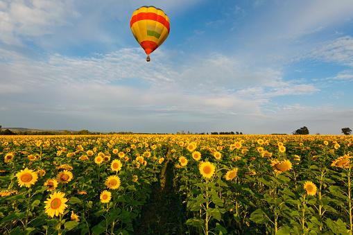 ひまわり「Colorful Hot Air Balloon over a field of yellow sunflowers in the early morning in Magaliesburg, Gauteng Province, South Africa」:スマホ壁紙(1)