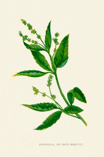 Uncultivated「Perennial, or Dogs Mercury, c1891, (1891)」:写真・画像(7)[壁紙.com]