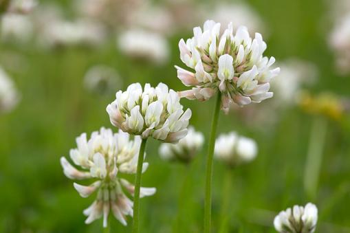 flower「White clover; flowers」:スマホ壁紙(2)