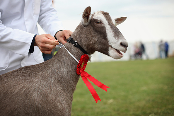Goat「Surrey County Show 2010」:写真・画像(15)[壁紙.com]