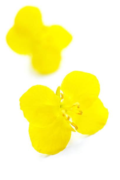 oliseed rape plant :スマホ壁紙(壁紙.com)