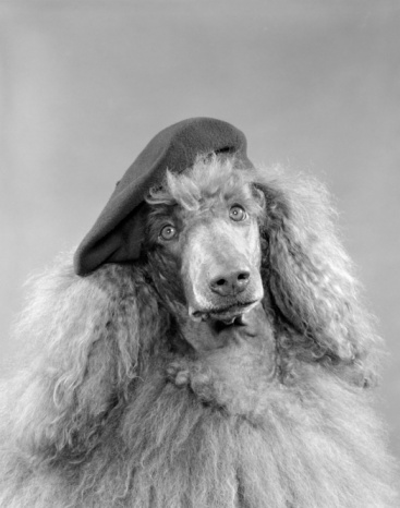 Beret「Poodle Dog Head Shot Or Portrait Wearing A French Beret With Long Curly Light Colored Hair 」:スマホ壁紙(13)