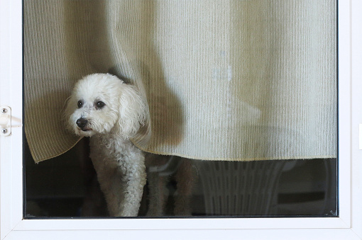 Cute「Poodle dog looking out of glass door」:スマホ壁紙(17)