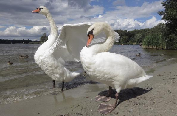 Aquatic Organism「Swans at Wannsee Lake」:写真・画像(12)[壁紙.com]