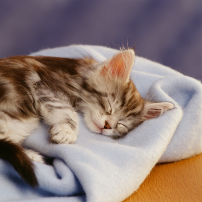 Purebred Cat「Kitten asleep on blue blanket」:スマホ壁紙(18)