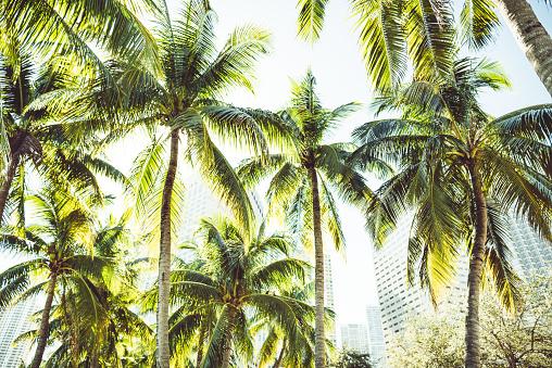 マイアミビーチ「マイアミの熱帯ヤシの木」:スマホ壁紙(6)