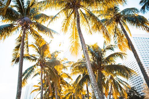 マイアミビーチ「マイアミの熱帯ヤシの木」:スマホ壁紙(5)