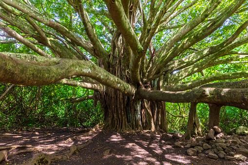 Haleakala National Park「Banyan Tree, Pipiwai Trail, Haleakala National Park, Maui, Hawaii, USA」:スマホ壁紙(17)