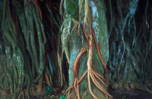 "Parasitic「""Banyan Tree Trunk, Hawaii, U.S.A.""」:スマホ壁紙(8)"