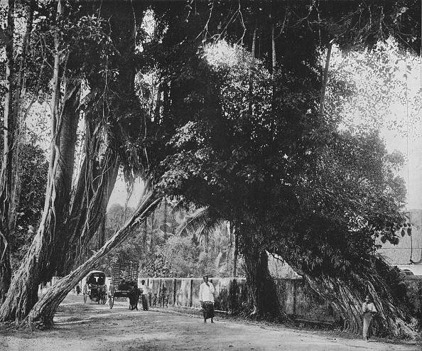 Tropical Tree「'Banyan Tree at Kalutara', c1890,」:写真・画像(3)[壁紙.com]