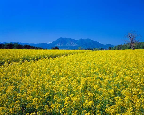 Rapeseed Blossom Field, Iiyama, Nagano Prefecture, Japan:スマホ壁紙(壁紙.com)