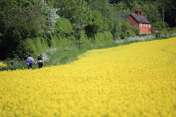 Oilseed Rape「Rape Seed Blossoms As The Summer Finally Arrives」:写真・画像(18)[壁紙.com]