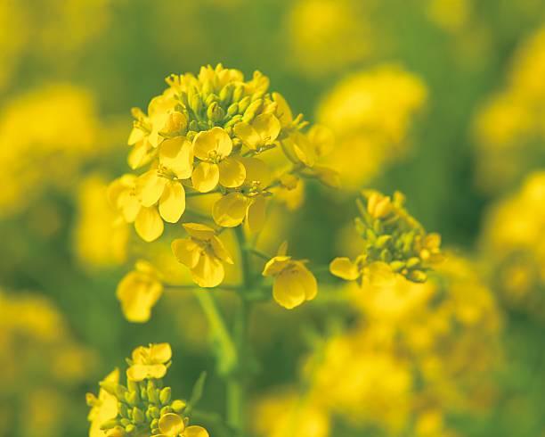 Rapeseed Blossoms:スマホ壁紙(壁紙.com)