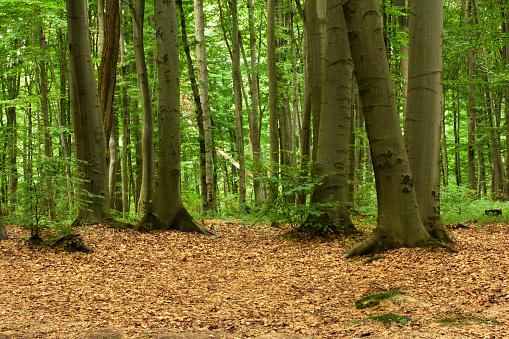 Boreal Forest「Beech forest.」:スマホ壁紙(0)