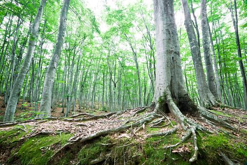 Spreading「Beech Forest」:スマホ壁紙(15)