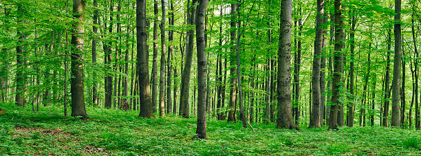 Beech  forest in spring:スマホ壁紙(壁紙.com)