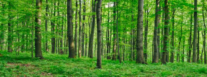 落葉樹「Beech  forest in spring」:スマホ壁紙(3)