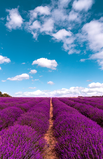 French Lavender「Purple Lavender Field」:スマホ壁紙(14)