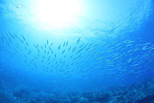 Northern Mariana Islands「Shoal of barracuda, Saipan, Northern Mariana Islands」:スマホ壁紙(10)