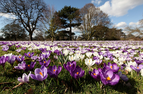 Crocus「The First Signs Of Spring Are Seen At Kew Gardens」:写真・画像(18)[壁紙.com]