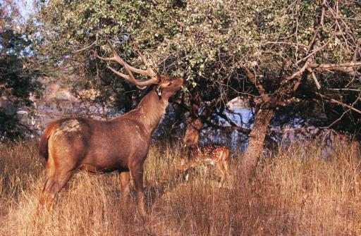 Rajasthan「Sambar & spotted deer eating leaves on tree.」:スマホ壁紙(18)