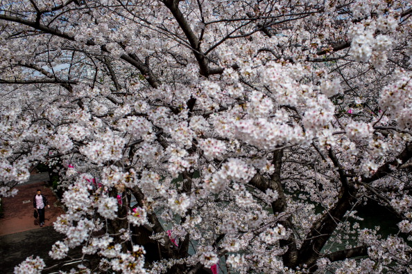 Cherry Blossom「Japanese Enjoy Cherry Blossom Season」:写真・画像(18)[壁紙.com]