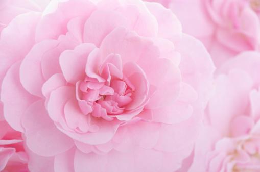 薔薇「フルフレームピンクパステル rose のショット」:スマホ壁紙(3)