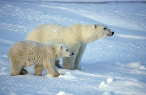 Approaching「Female Polar Bear and her cub watching approach of another bear」:スマホ壁紙(10)