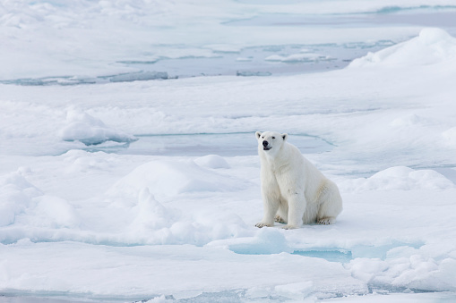 Svalbard and Jan Mayen「Female polar bear (Ursus Maritimus) sitting on snow, Spitsbergen, Svalbard, Norway」:スマホ壁紙(18)