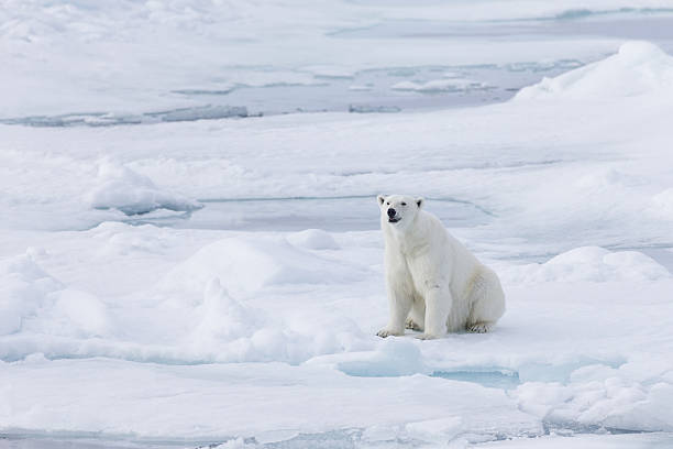 Female polar bear (Ursus Maritimus) sitting on snow, Spitsbergen, Svalbard, Norway:スマホ壁紙(壁紙.com)