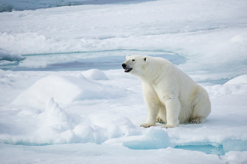 Svalbard and Jan Mayen「Female polar bear (Ursus Maritimus) sitting on snow, Spitsbergen, Svalbard, Norway」:スマホ壁紙(14)