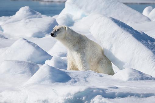 Pack Ice「Female polar bear (Ursus Maritimus) sitting on snow, Spitsbergen, Svalbard, Norway」:スマホ壁紙(12)
