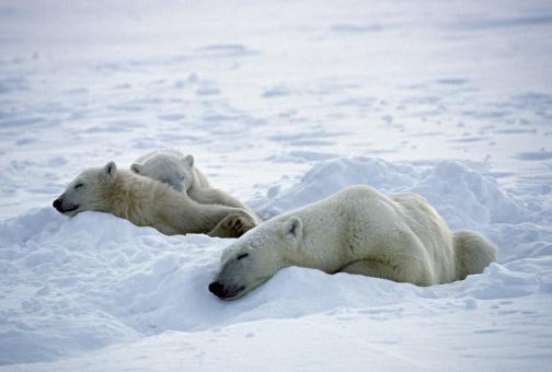 Bear Cub「Female Polar Bear, Ursus maritimus, sleeping with cubs, Hudson Bay, Canada」:スマホ壁紙(7)