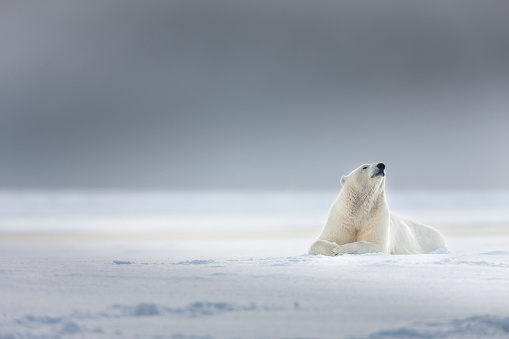 Arctic National Wildlife Refuge「Female polar bear」:スマホ壁紙(16)