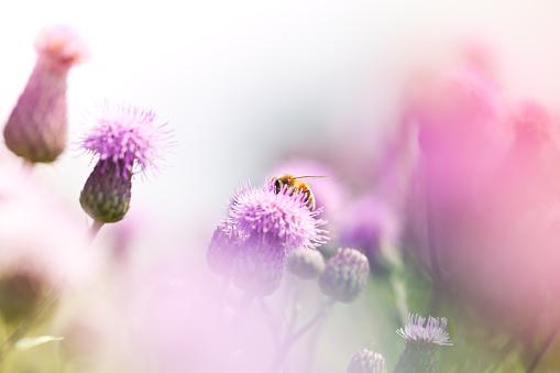 花畑「Honey bee pollinating アザミの草地」:スマホ壁紙(18)