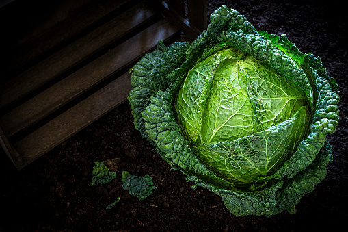 Dietary Fiber「Green cabbage in vegetable garden」:スマホ壁紙(6)