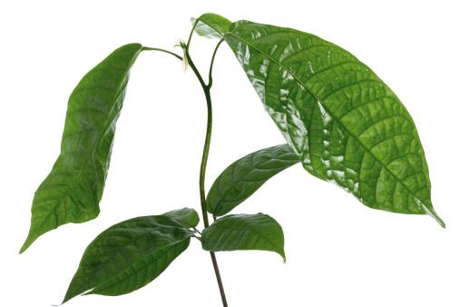 Love - Emotion「Cacao plant」:スマホ壁紙(0)