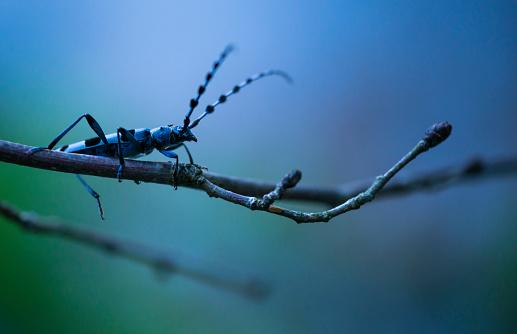小枝「Rosalia longicorn (Rosalia alpina), Cerambycidae, Coleoptero, Insecto, Redes Natural Park, Caso Council, Asturias, Spain, Europe」:スマホ壁紙(9)