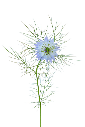 Stamen「Love in the mist flower against white background.」:スマホ壁紙(11)