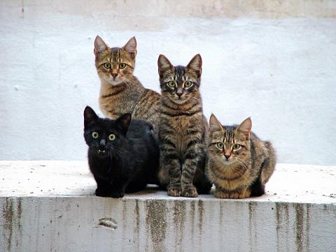 Mixed-Breed Cat「Four kittens posing」:スマホ壁紙(14)