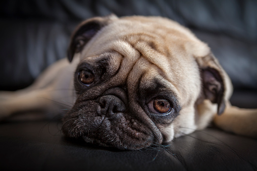 Headshot「Puk Pukster, the Pug, Contemplates Her Day」:スマホ壁紙(9)