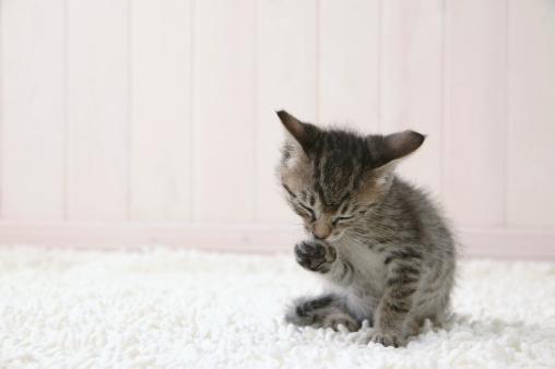 Mixed-Breed Cat「Kitten licking its paw」:スマホ壁紙(7)
