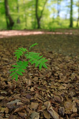 Rowan Tree「Young Rowan sapling tree growing in woodland」:スマホ壁紙(1)
