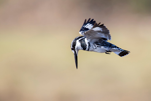 Animals Hunting「The Pied Kingfisher (Ceryle rudis) in flight hunting for fish - Pilansberg National Park South Africa」:スマホ壁紙(8)