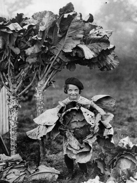 Salad「Big cabbage at a horticulture-exhibit near Fan Court in Chestersey, England, Photograph, Around 1935」:写真・画像(0)[壁紙.com]