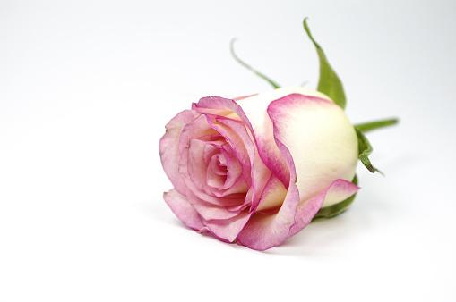 七夕「Champagne roses」:スマホ壁紙(16)