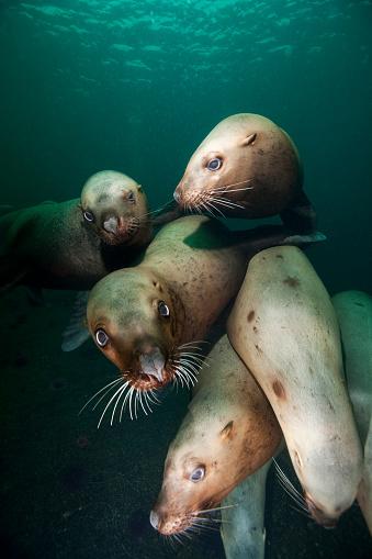 Sea Lion「Swimming Steller sea lions」:スマホ壁紙(19)